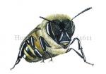 Honingbij-werkster-vooraanzicht-14611