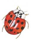 Lieveheersbeestje-veekleurig Aziatisch-14387