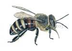 Honingbij-werkster-zijaanzicht-14205
