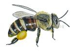 Honingbij-werkster-zijaanzicht-stuifmeel-14204