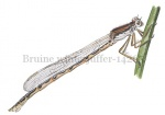 Bruine winterjuffer-14265
