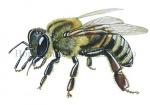 Honingbij-zijaanzicht-14609