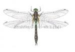 Smaragdlibel-m-14141