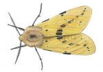 Gele tijger-14414