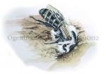Ogentroostdikpootbij maakt nest-140002