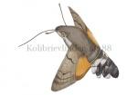 Kolibrievlinder-14388