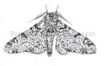 Peper-en-zout-vlinder 14410