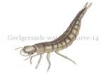 Geelgerande watertor-larve-14.1025