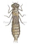Paardenbijter-larve-14.1006