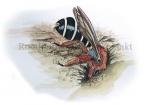 Roodpotige groefbij-maakt nest-14232
