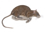 Bruine rat-11039