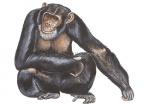 Chimpansee-11194