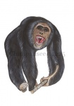 Chimpansee-11225