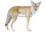 Coyote-11184