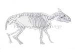Elomeryx-skelet-11232
