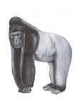 Gorilla-11192