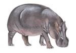 Nijlpaard-11171