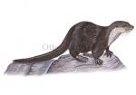 Otter-11021-1