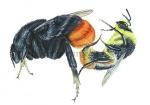 Boomhommel-vechtend met gewone koekoekshommel-14558