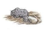 Otter-uitwerpsel-11107