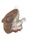 Rosse woelmuis-kop-11094