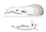 Schedel waterspitsmuis-11120