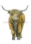 Schotse Hooglander-11069