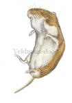 Veldmuis-dood-11101