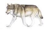 Wolf-11189