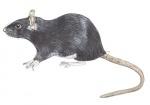 Zwarte rat-11137
