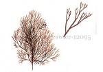 Rood hoorntjeswier-12095