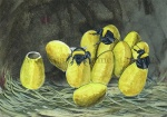 Gewone aardhommel--eieren komen uit-140042