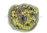 Gewone aardhommel--eieren komen uit-14552