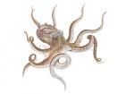Octopus-anatomie-12162