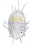 Kaswittevlieg-larve1-14484