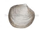 Noordse cirkelschelp-12029