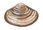 Ovale strandschelp-12057