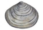 Platte slijkgaper-12068