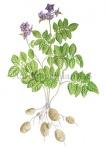 Aardappelplant-182479