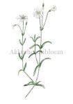 Akkerhoornbloem-18198