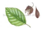 Beuk-blad-beukennoot-182381