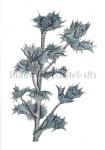 Blauwe zeedistel-18154