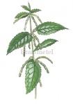 Brandnetel-vrouwelijke bloeiwijze-182371