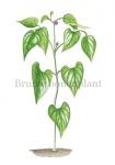 Bruine bonenplant-180017