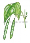 Bruine boon-peul-180015