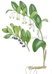 Duinsalomonszegel-182378