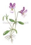 Duinviooltje-182368