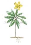 Gele anemoon-18290