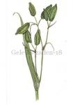 Gele lis-zaden-18064