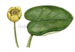 Gele plomp-18059